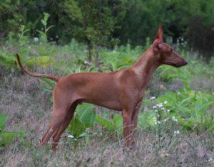 Воспитание собаки до года. Начальная дрессировка щенка
