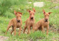 Как обменять метрику щенка на родословную РКФ? Когда и где это можно сделать?