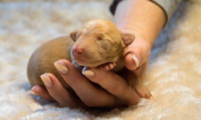 щенок чирнеко на руке